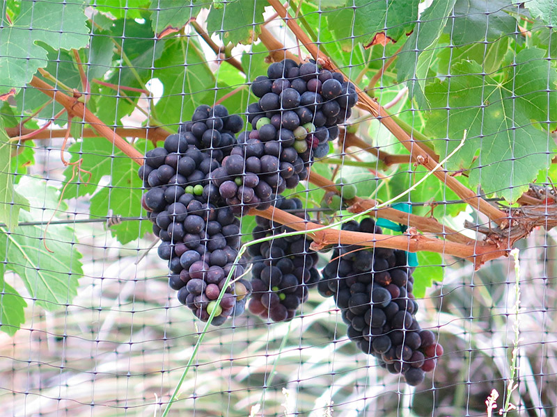grapes_780